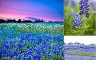 Mùa Hoa Bluebonnet